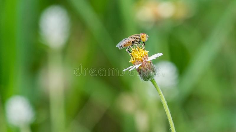 Alone Bee on alone Flower stock photography