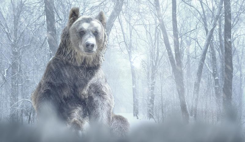 Alone brown bear and snow in a winter forest mountain. Nature and wildlife concept with empty copy space royalty free stock photography