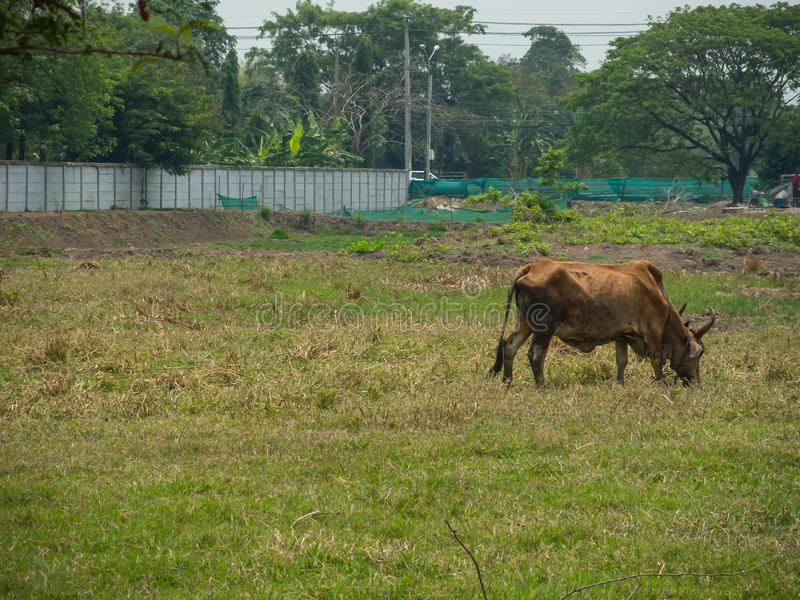 Alone Brown ox get feeding on green field at rural of Thailand. stock photo