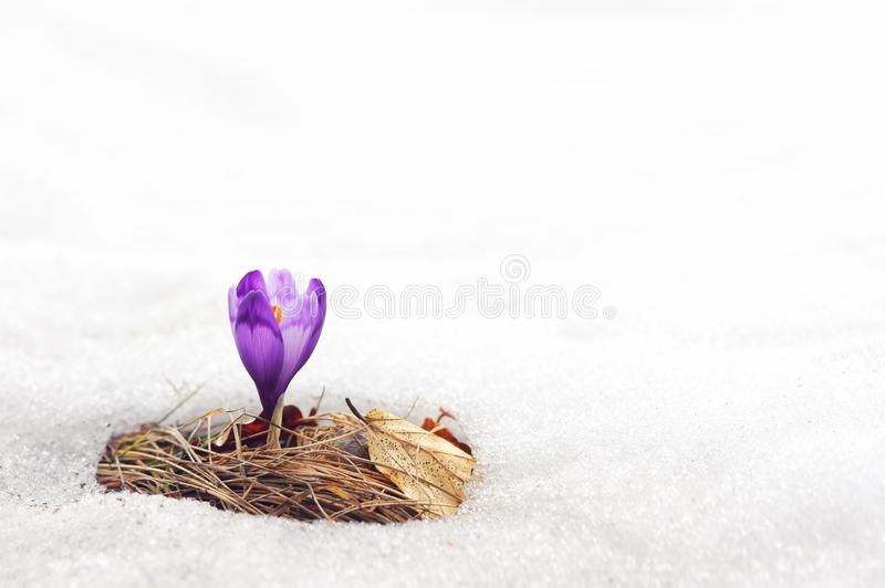 Alone crocus flower in snow. On spring meadow closeup royalty free stock photo