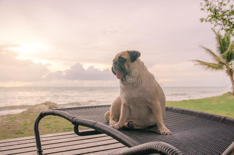 Alone cute pug dog tongue sticking out sad and sit alone on beach chair with summer sea and looking at cloudy sunset. Background royalty free stock images