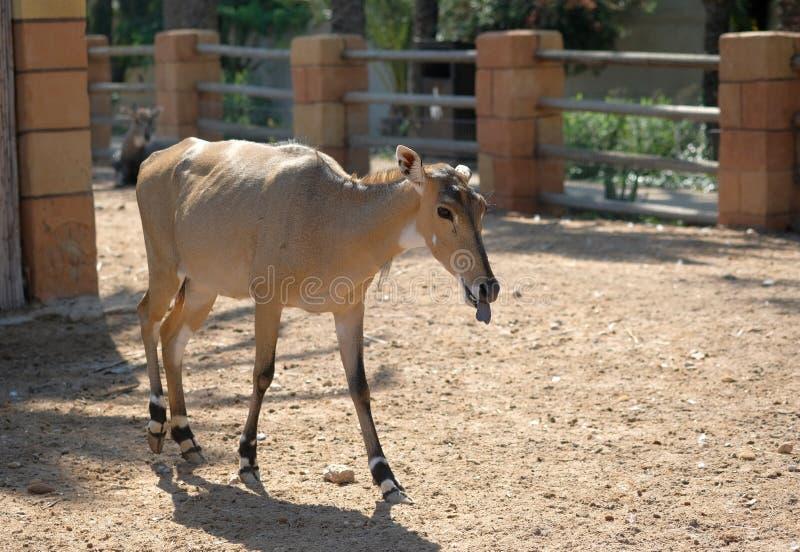 Alone deer in zoo park stock photos