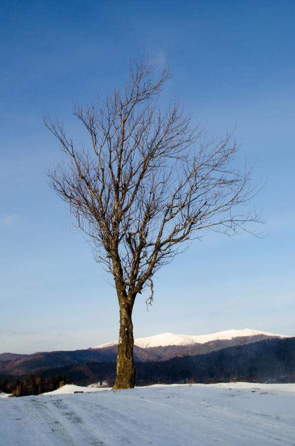 Alone dry tree royalty free stock images