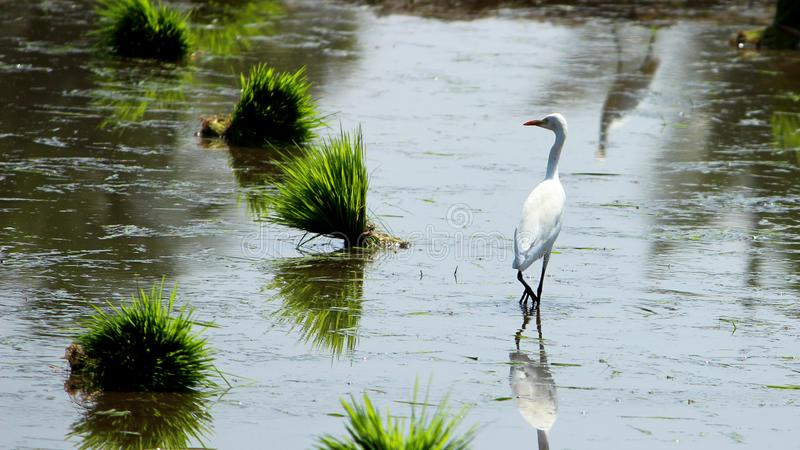 Alone Eastern Cattle Egret. Bird in green farm rice cultivating landscape stock photos