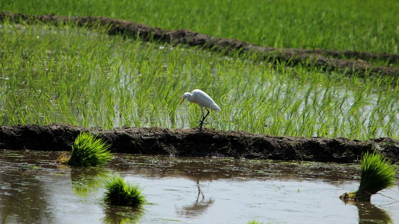 Alone Eastern Cattle Egret. Bird in green farm rice cultivating landscape royalty free stock image