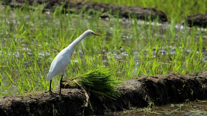 Alone Eastern Cattle Egret. Bird in green farm rice cultivating landscape. This bird is searching for insects in that landscape royalty free stock photography