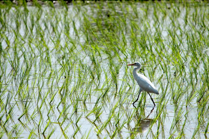 Alone Eastern Cattle Egret. Bird in green farm rice cultivating landscape. Searching for insects to eat stock photography