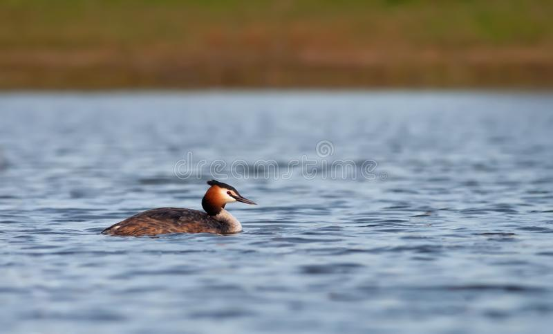 Alone Great Crested Grebe floats on the water surface stock photos