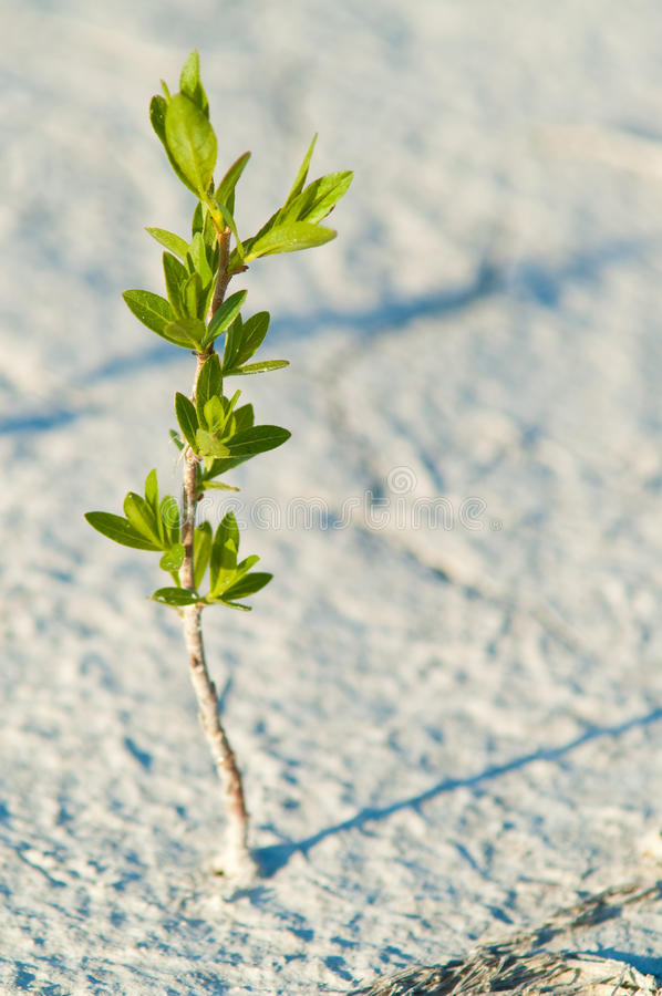 Alone green plant. In the middle of the desert royalty free stock image