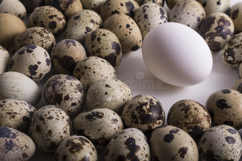 Alone Hen Egg in Center Space and Group of Multiple Speckle Quail royalty free stock images