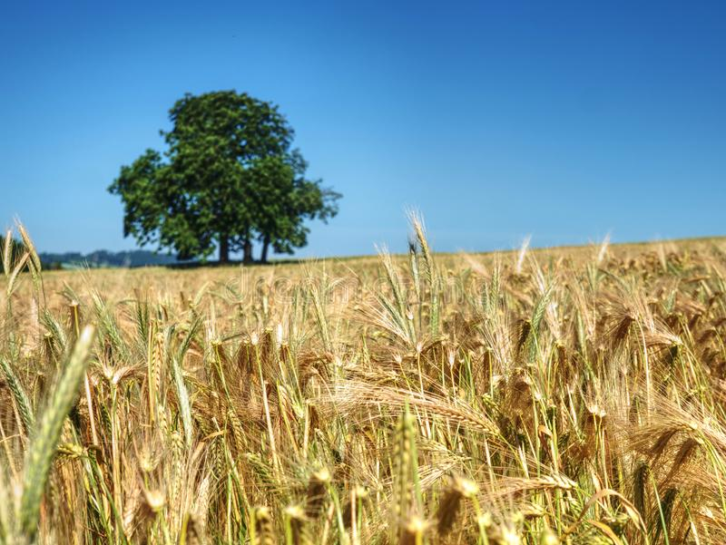 Alone lime tree in middle of barley or wheat field. Blue sky royalty free stock images