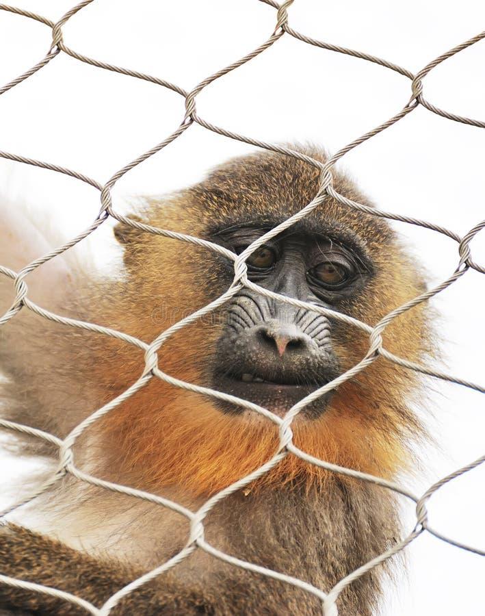 Download Alone monkey stock photo. Image of gape, bars, environment - 21247854
