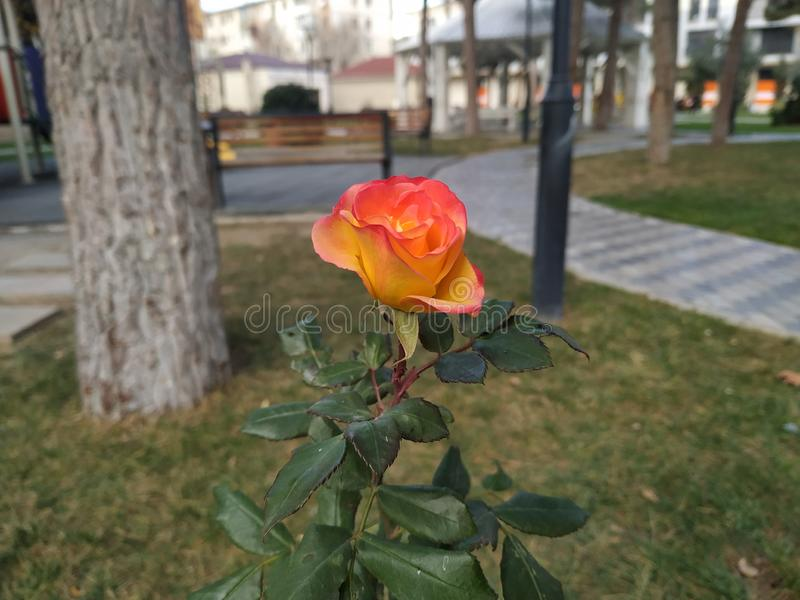 Alone rose in the park stock photos