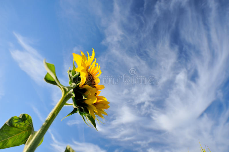 Alone sunflower royalty free stock images