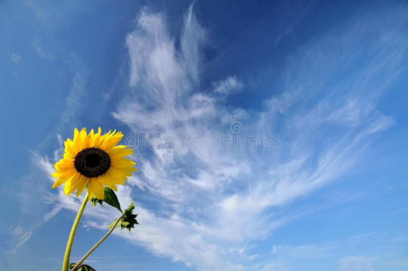 Alone sunflower royalty free stock photography