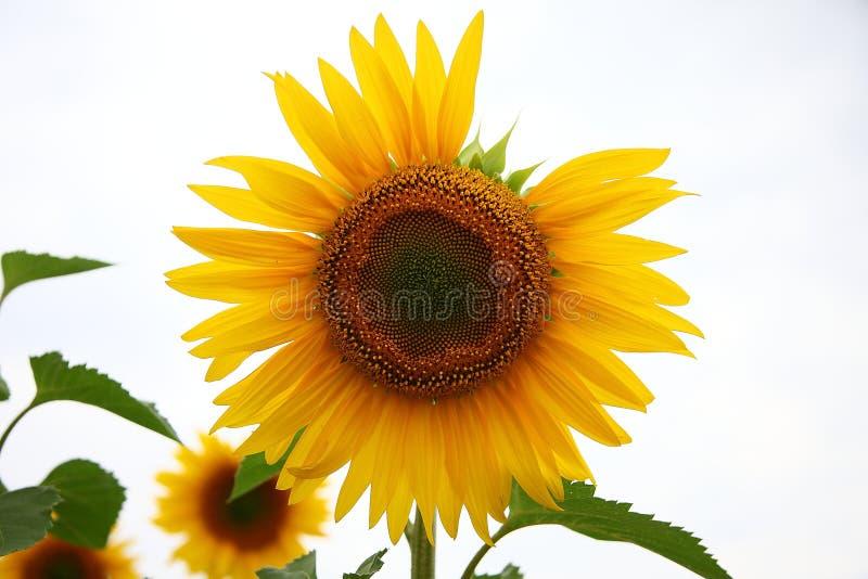 Alone Sunflower stock photography