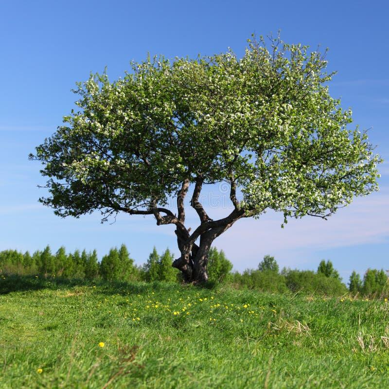 Alone tree royalty free stock photography