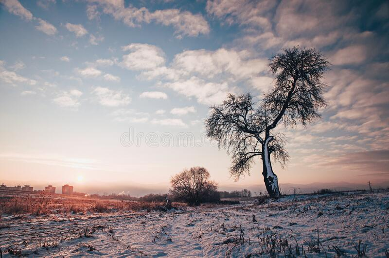 Alone tree in blue and purple winter morning light, edit space. Photo in High Quality stock image