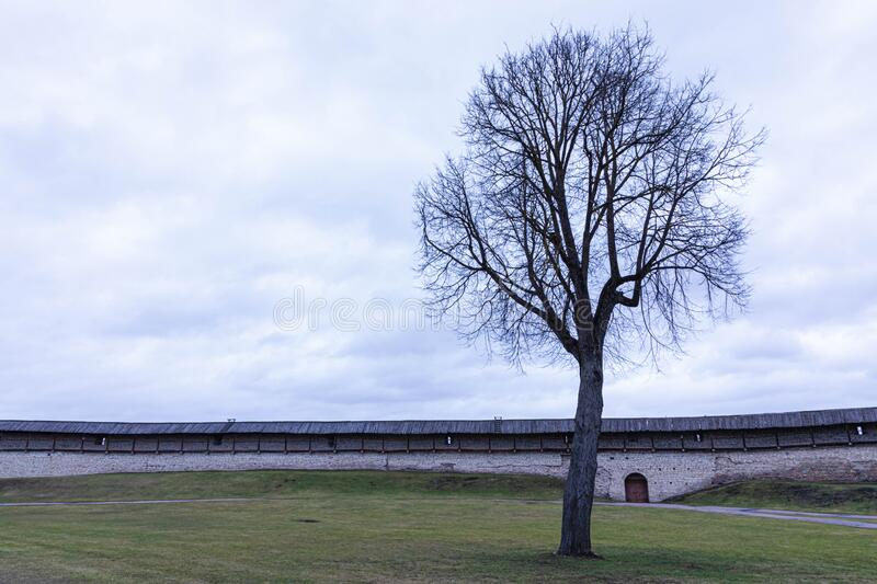 Alone tree on the internal lawn of the medieval castle, citadel or fortress in cloudy spring or autumn day. On the background of rock and stone wall with royalty free stock photo