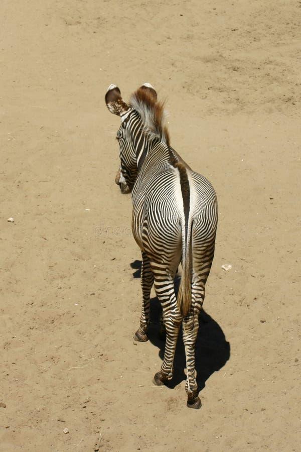 Download Alone Zebra stock image. Image of wildlife, wild, portrait - 28016549