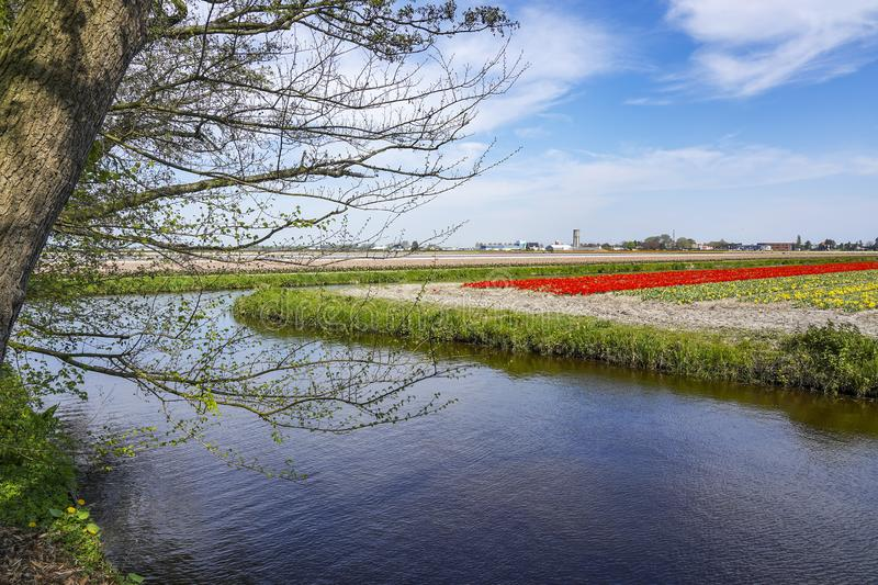 Along the tree that hangs over the water cant you see here the typically Dutch bulb fields around the town of Lisse with yellow da stock photography
