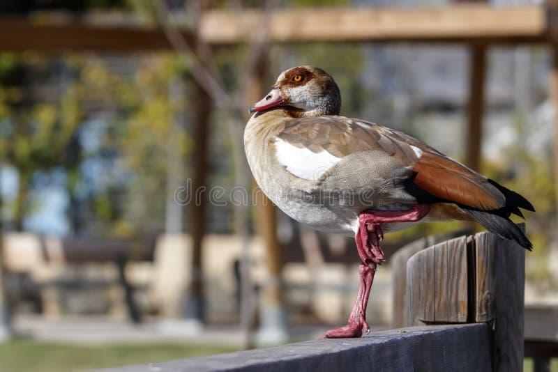 Alopochen ägyptiacus-Ente, die auf einem einem Bein auf Bretterzaun steht stockfotos