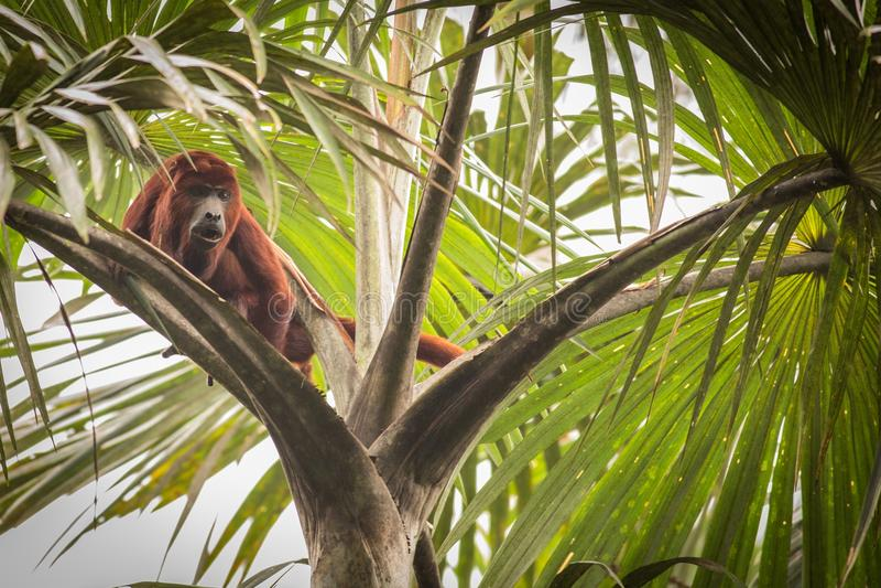 Alouatta vermelho Seniculus do macaco de furo imagem de stock