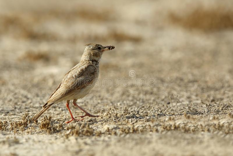 Alouette crêtée avec un crochet dans des terres cultivables du Bahrain photographie stock
