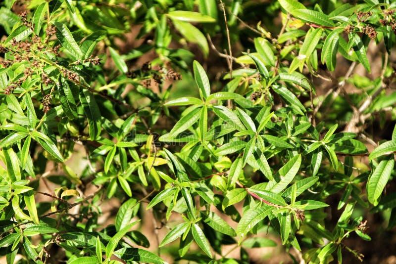 Aloysia citriodoraväxt royaltyfri foto