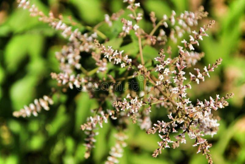 Aloysia Citrodora plant in the garden stock photo