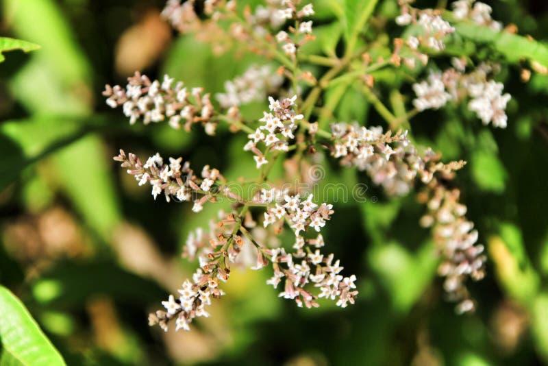 Aloysia Citrodora växt i trädgården royaltyfri fotografi