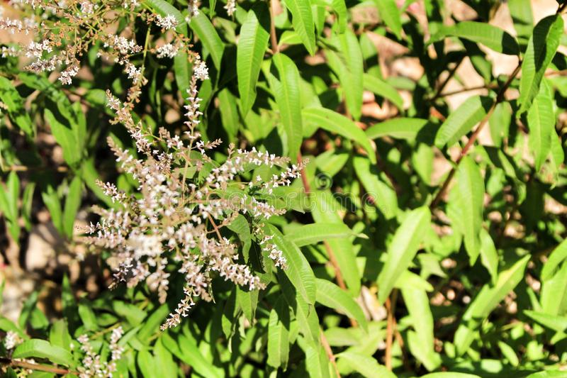Aloysia Citrodora växt i trädgården arkivfoton