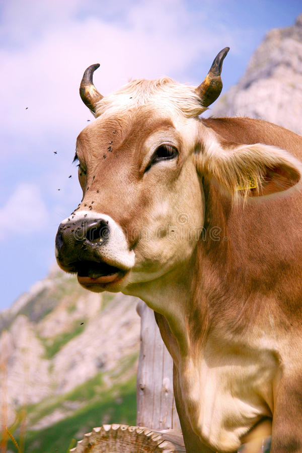 Alp Cow stock foto's