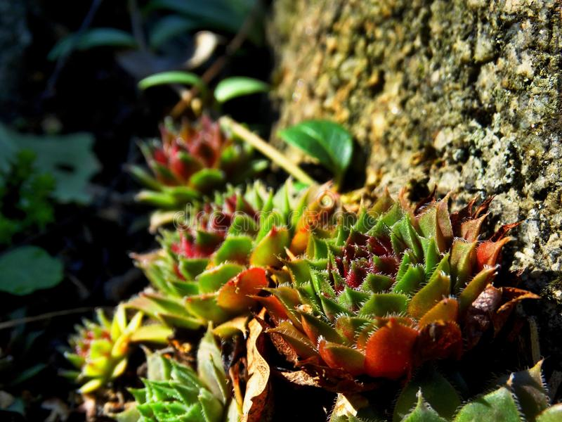 Alp kwiat obrazy stock