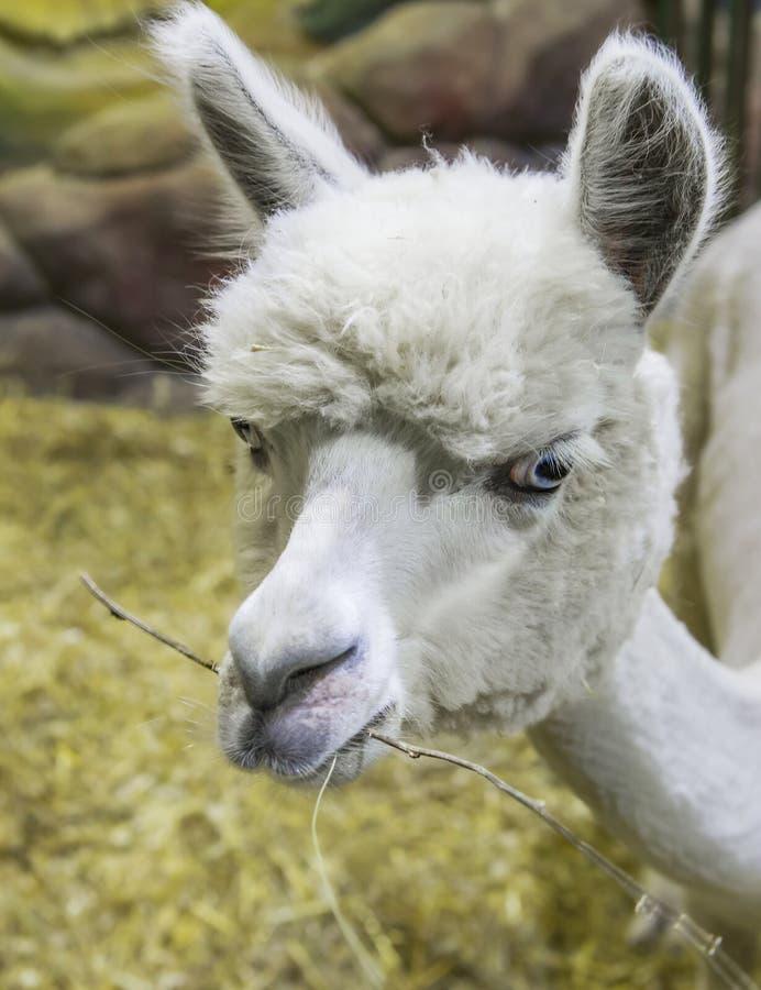 alpaca stock afbeelding