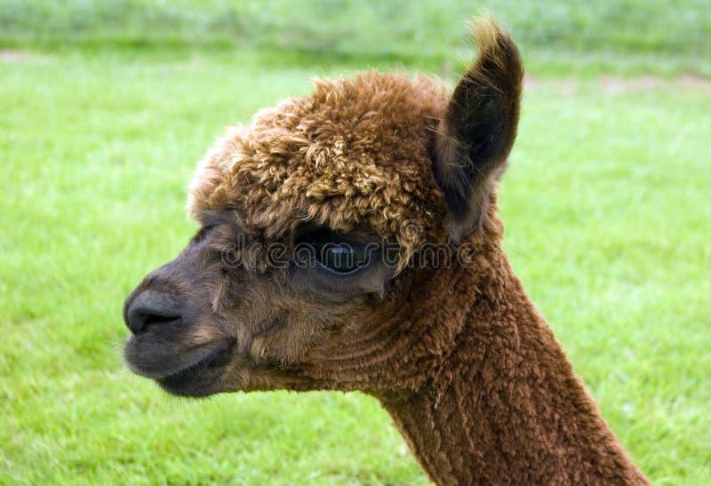 Download Alpaca stock image. Image of woollies, coats, woollen - 10822549