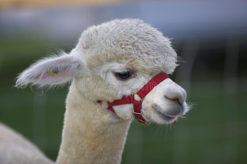 Alpaca imagens de stock royalty free