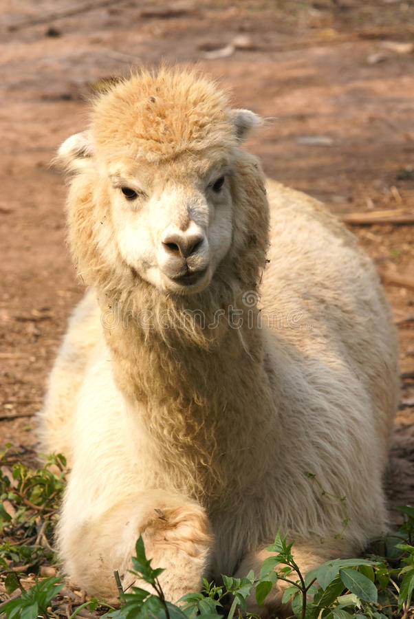 Alpaca. Was taken in Chongqing Zoo stock images