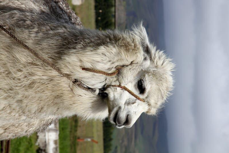alpaca royaltyfria foton