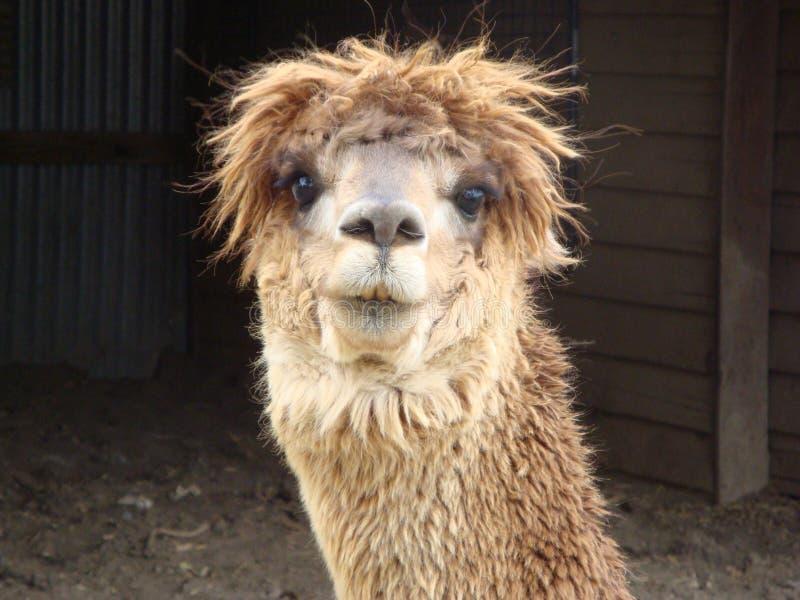 Download Alpaca Stock Photography - Image: 21086442