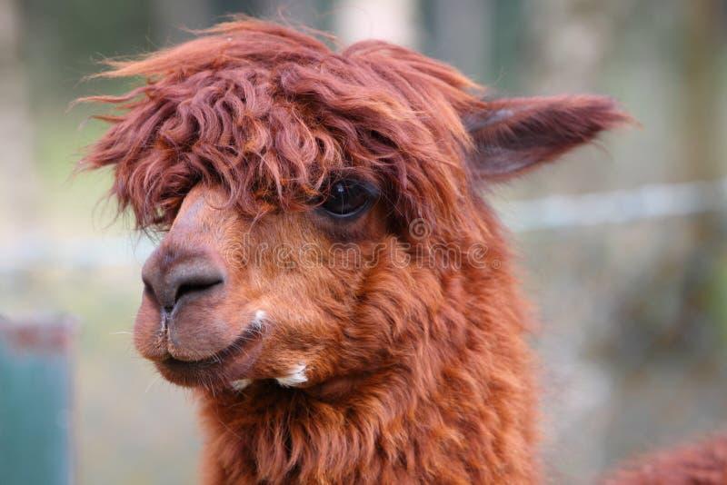 alpaca royaltyfri fotografi