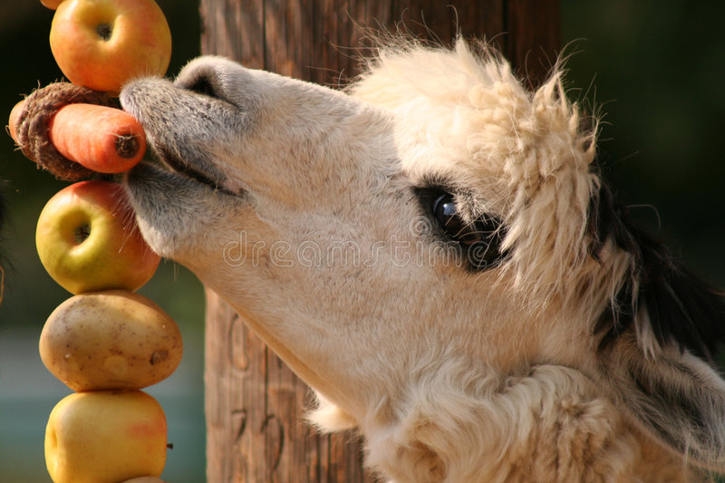 Download Alpaca stock image. Image of mammal, peru, alpaca, carrot - 225587