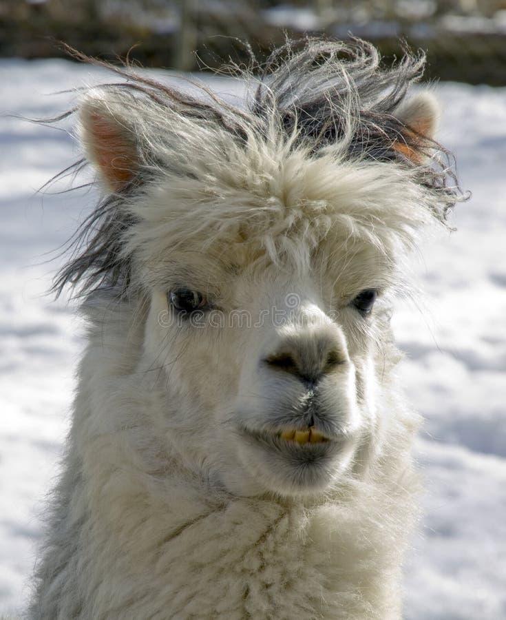 Download Alpaca stock image. Image of woolly, nature, wool, llama - 22646545