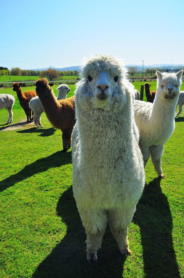 Free Alpaca Royalty Free Stock Photo - 22878995