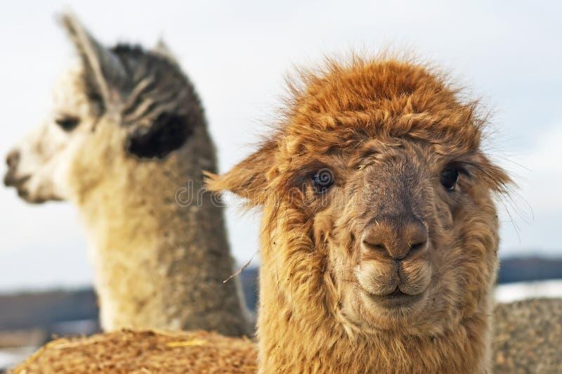 Alpaca royalty-vrije stock fotografie