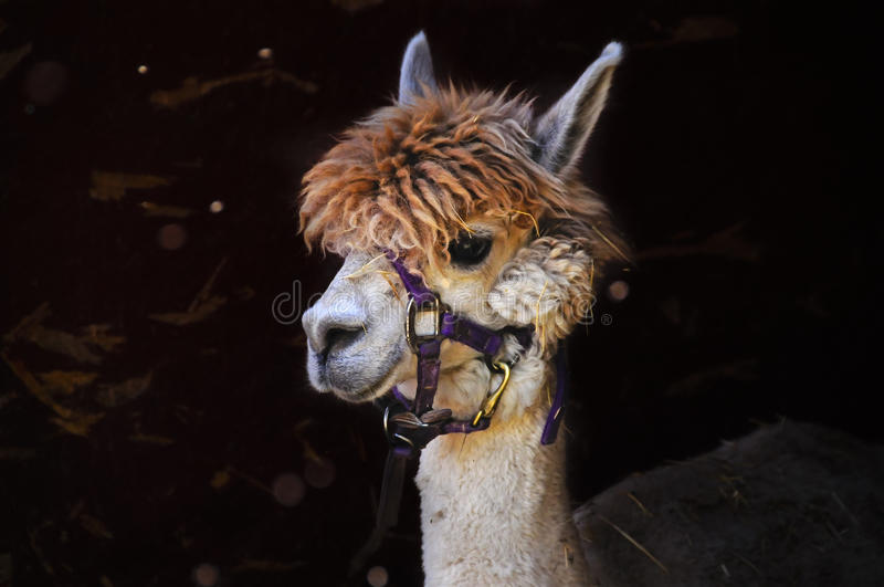 Download Alpaca stock photo. Image of closeup, wool, pacos, domesticated - 23923080