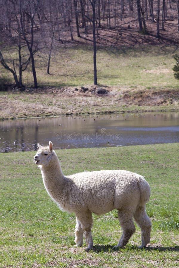 Download Alpaca stock image. Image of pasture, farming, portrait - 24092393