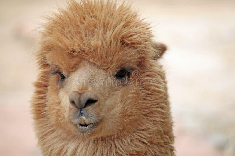 Download Alpaca stock photo. Image of alpaca, animal, china, yamma - 25516688