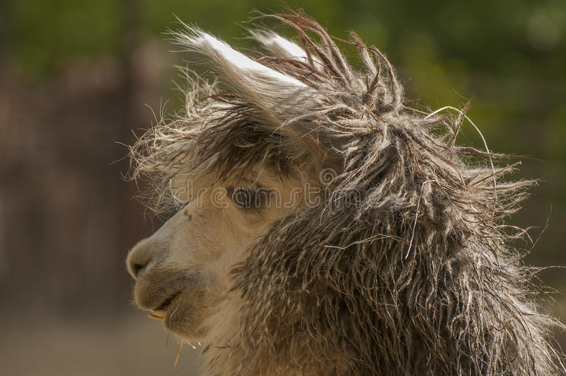 Download Alpaca Royalty Free Stock Photo - Image: 27677125