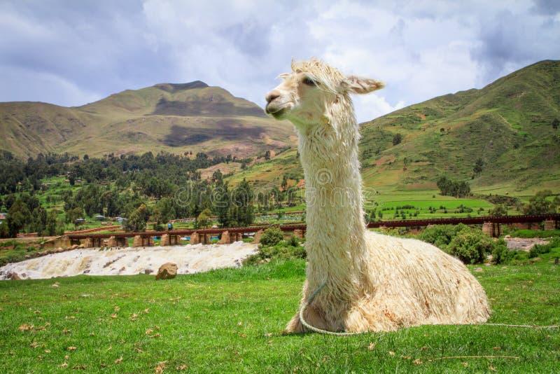 Download Alpaca stock foto. Afbeelding bestaande uit close, gezicht - 29511862